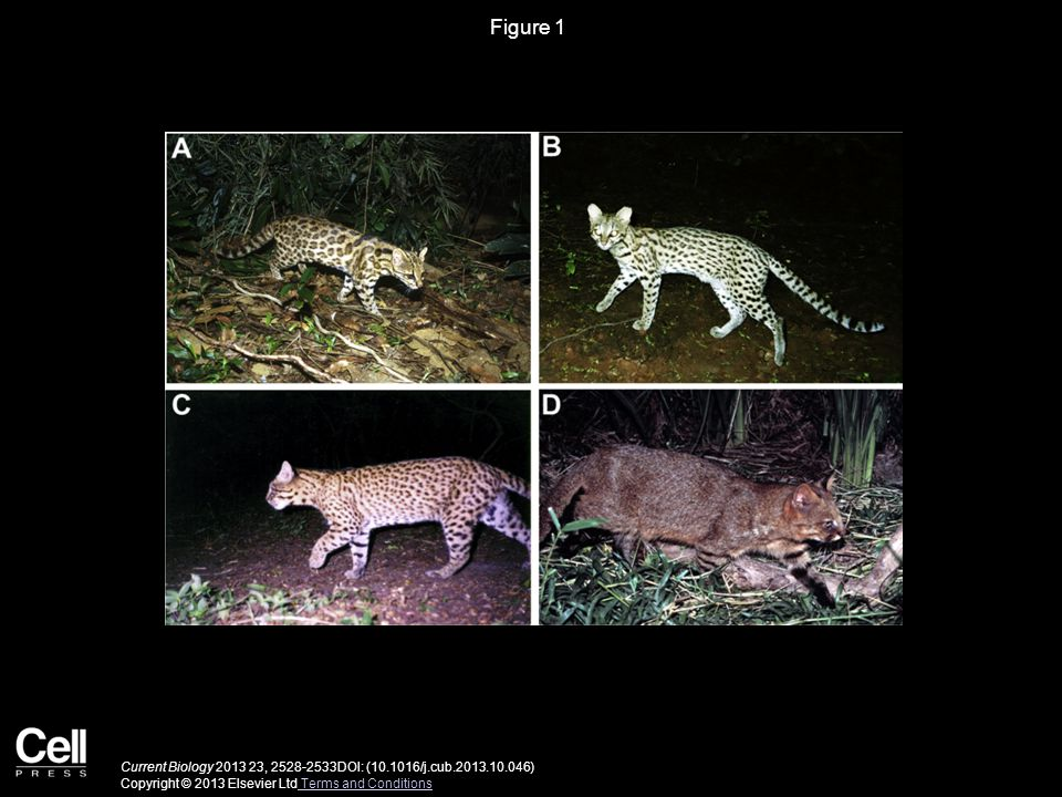 Figure 1 Camera-Trap Photographs of Wild Individuals Illustrating the Four Distinct Felid Species Recognized in This Study.