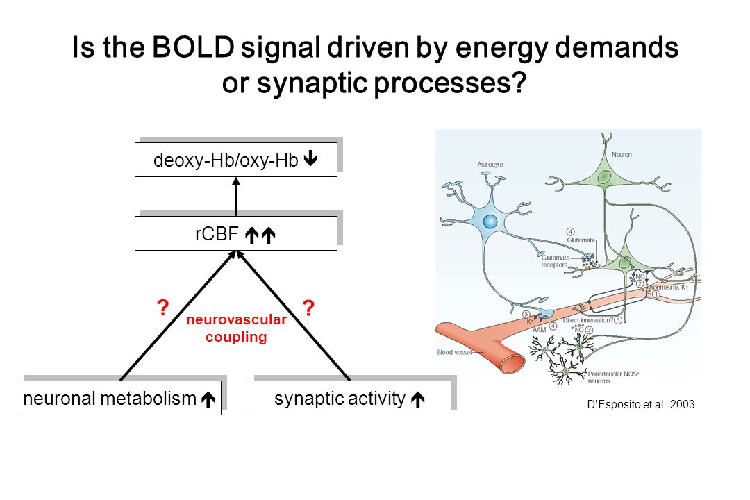 Is the BOLD signal driven by energy demands or synaptic processes
