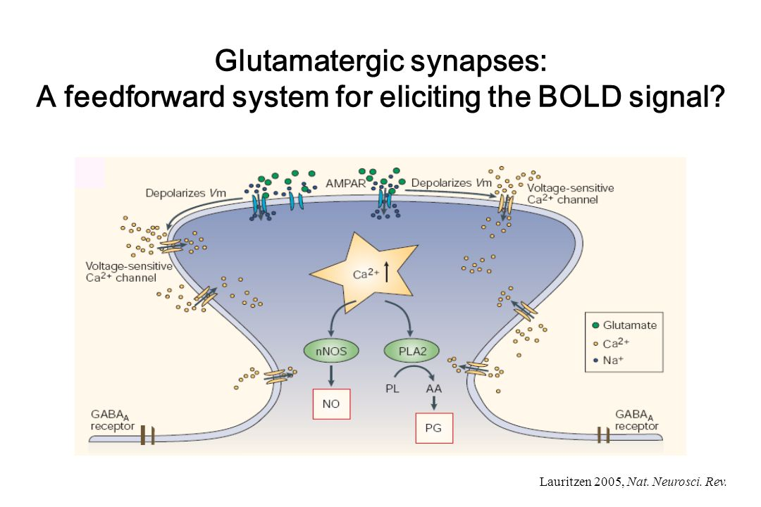 Glutamatergic synapses: A feedforward system for eliciting the BOLD signal
