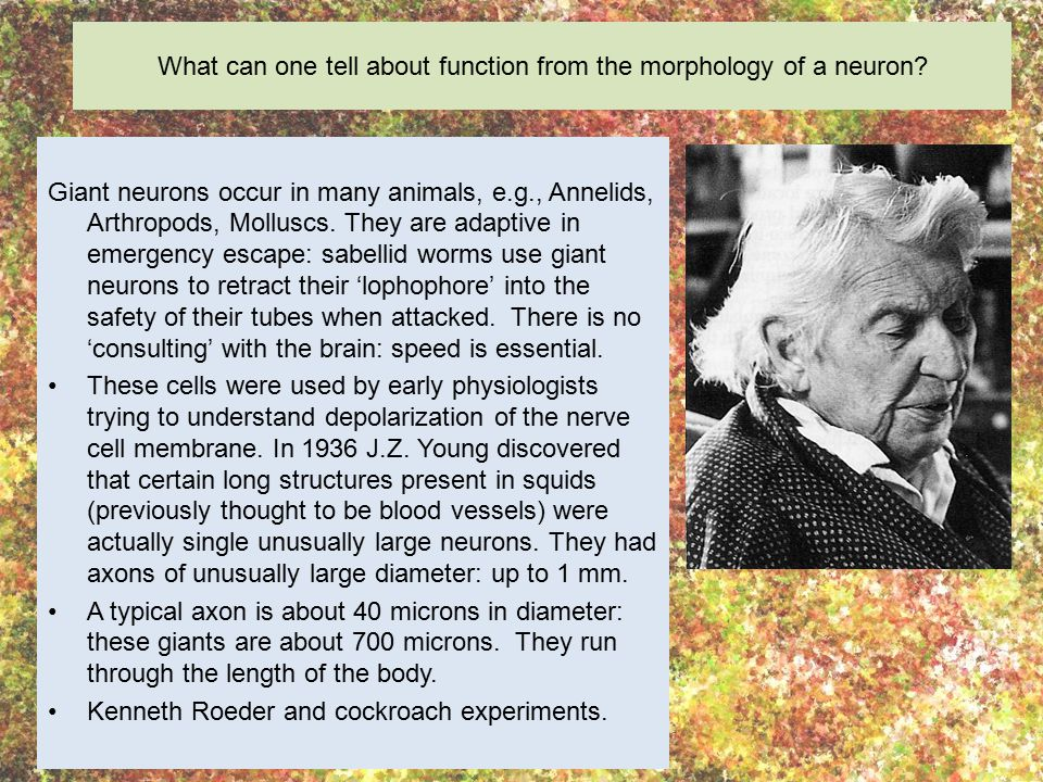What can one tell about function from the morphology of a neuron