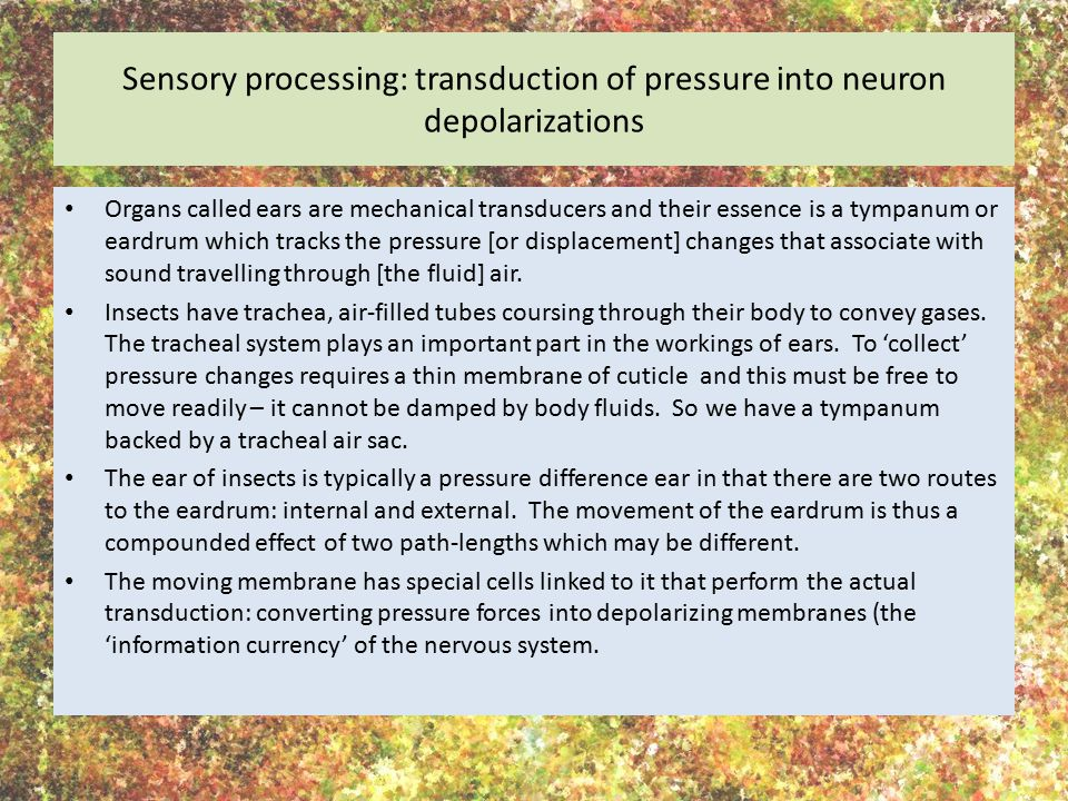 Sensory processing: transduction of pressure into neuron depolarizations