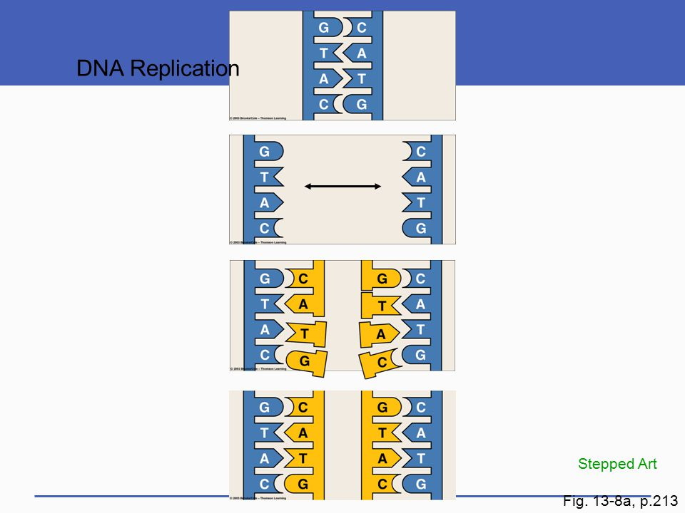 DNA Replication Stepped Art Fig. 13-8a, p.213