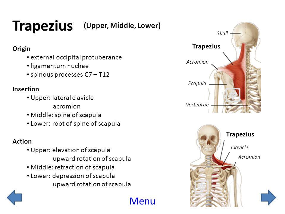 Trapezius Menu (Upper, Middle, Lower) Trapezius Origin