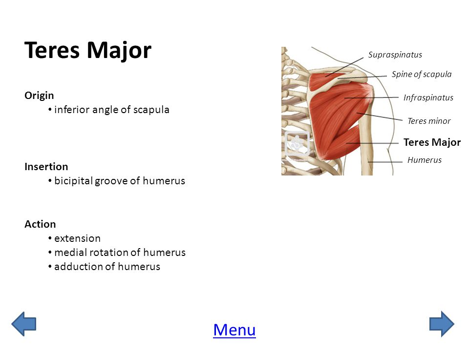 Teres Major Menu Origin inferior angle of scapula Teres Major