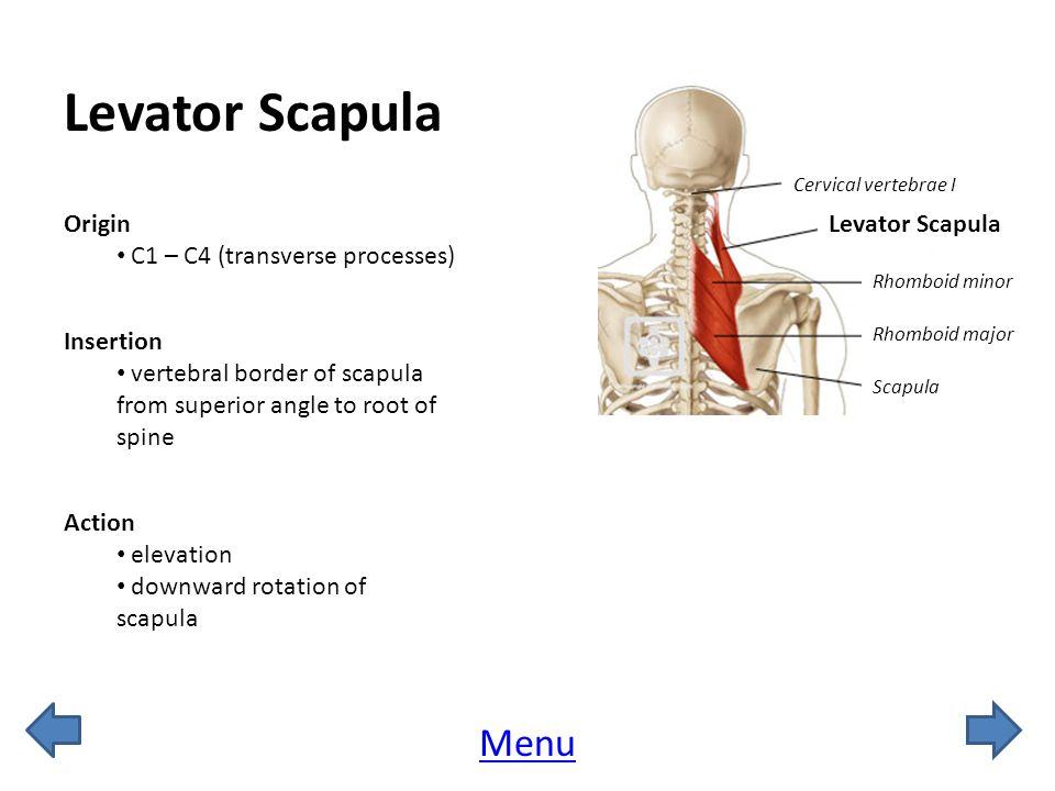 Levator Scapula Menu Origin C1 – C4 (transverse processes)