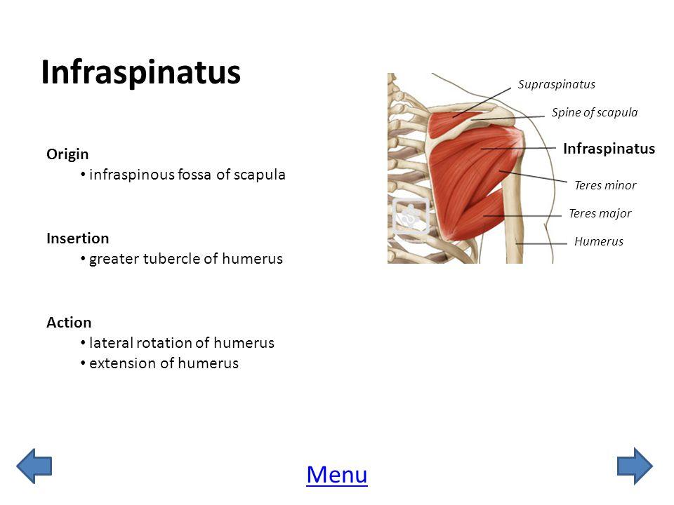 Infraspinatus Menu Infraspinatus Origin infraspinous fossa of scapula