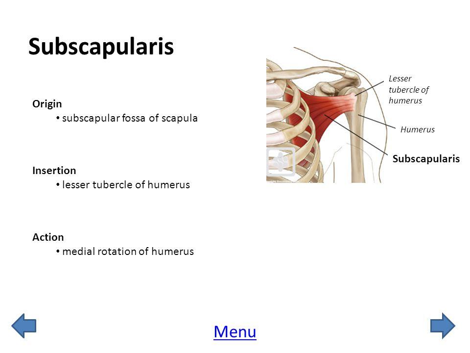 Subscapularis Menu Origin subscapular fossa of scapula Subscapularis