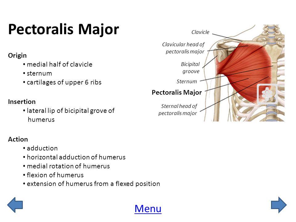 Pectoralis Major Menu Origin medial half of clavicle sternum