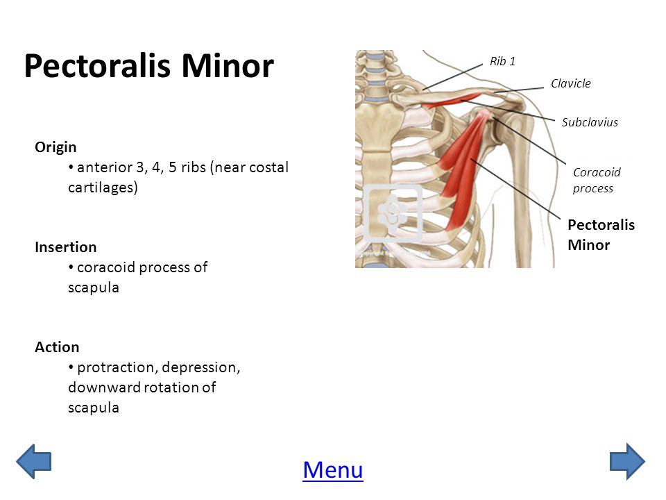 Pectoralis Minor Menu Origin