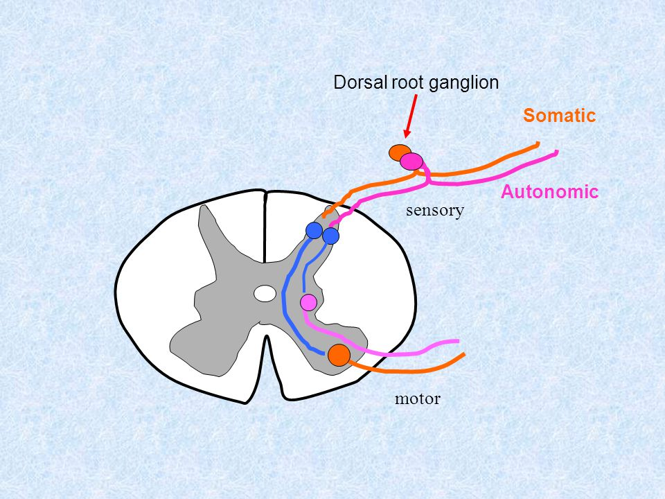 Dorsal root ganglion Somatic Autonomic sensory motor