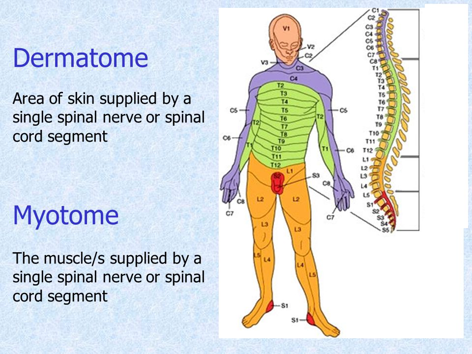Dermatome Area of skin supplied by a single spinal nerve or spinal cord segment. Myotome.