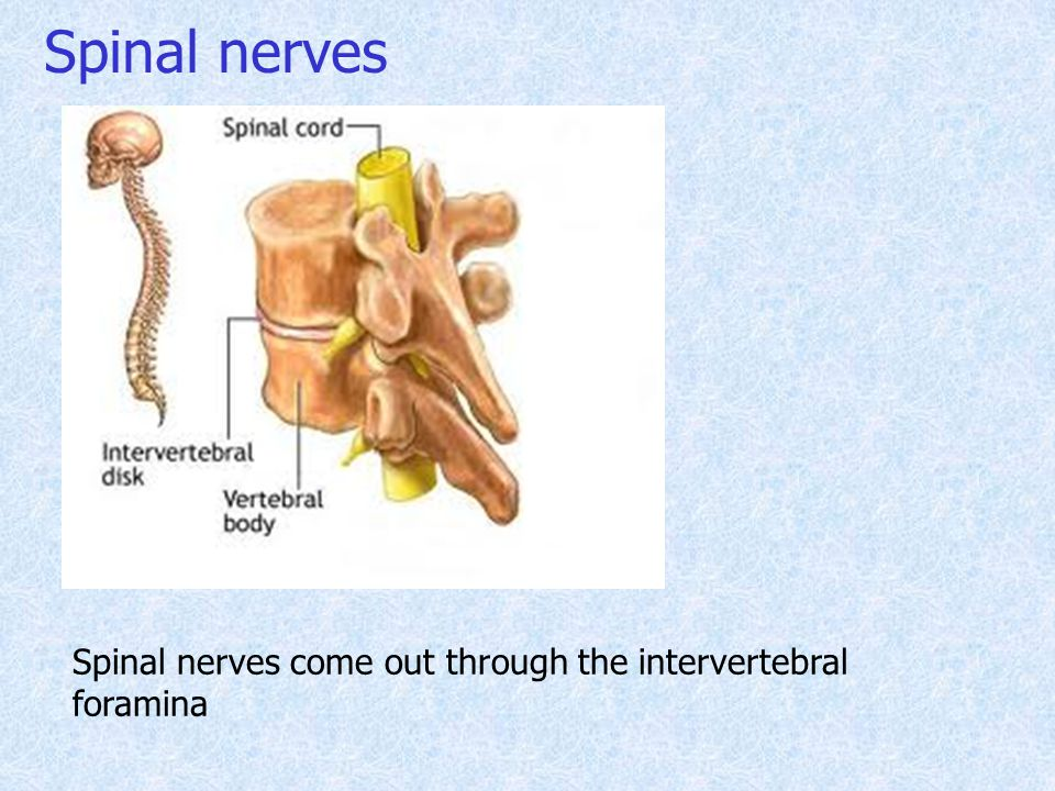 Spinal nerves Spinal nerves come out through the intervertebral foramina