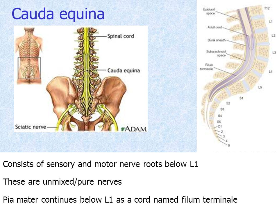 Cauda equina Consists of sensory and motor nerve roots below L1