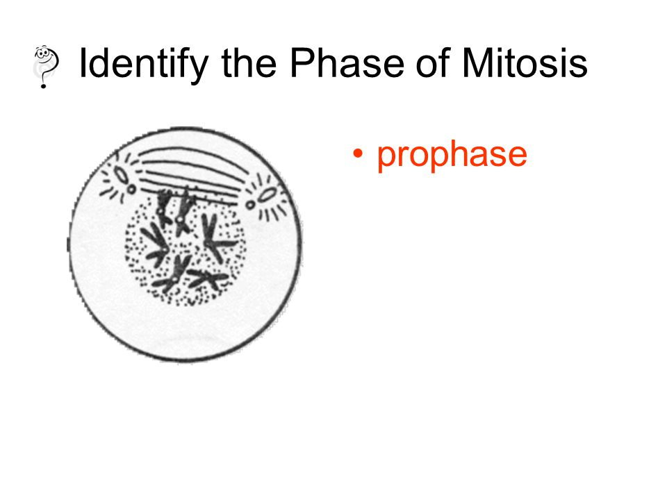 Identify the Phase of Mitosis