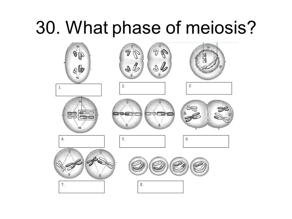 30. What phase of meiosis