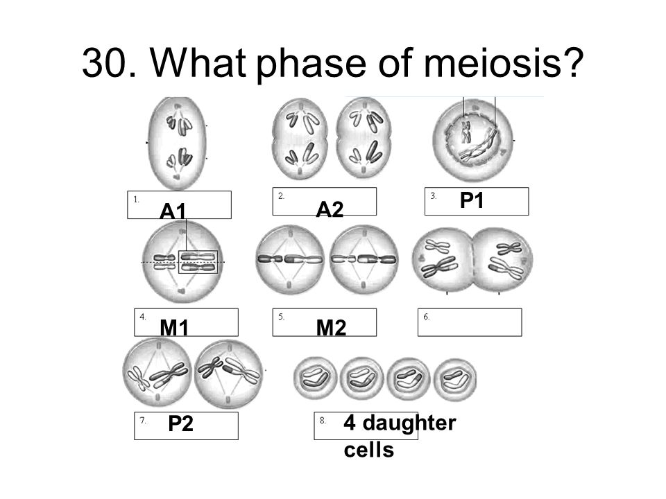 30. What phase of meiosis P1 A1 A2 M1 M2 P2 4 daughter cells