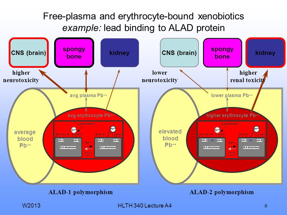 Free-plasma and erythrocyte-bound xenobiotics example: lead binding to ALAD protein