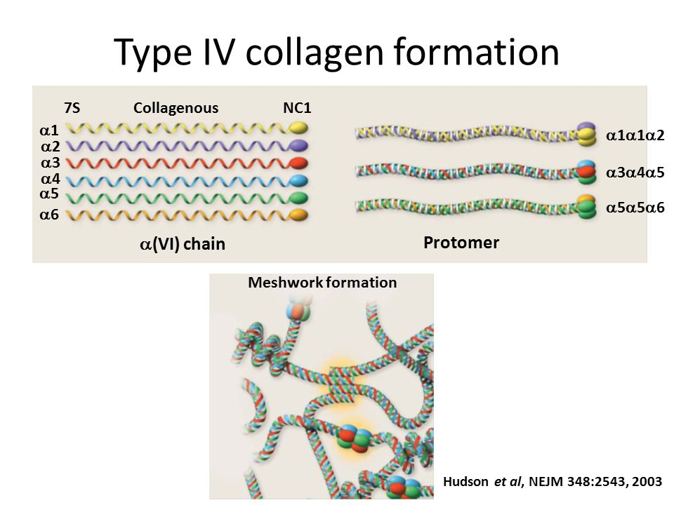 Type IV collagen formation