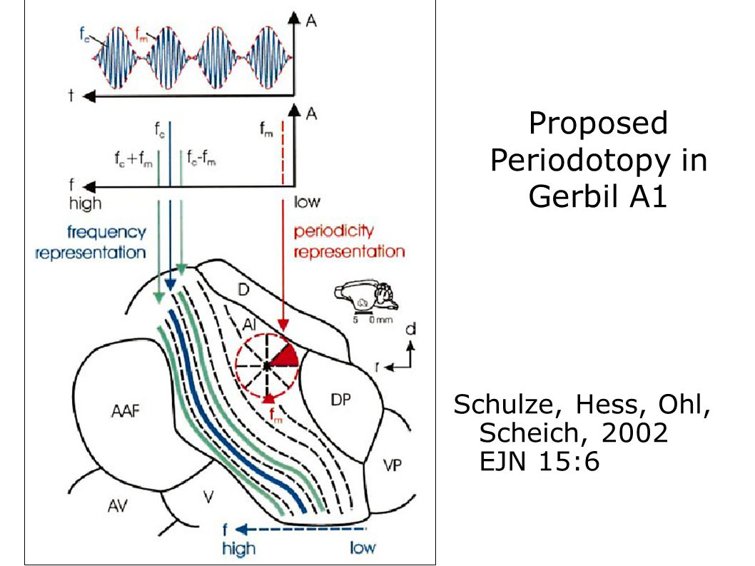 Proposed Periodotopy in Gerbil A1