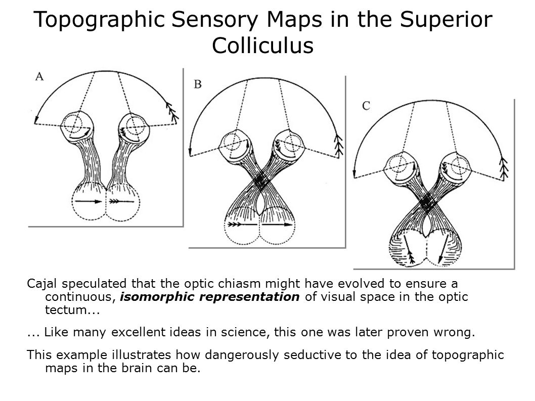 Topographic Sensory Maps in the Superior Colliculus
