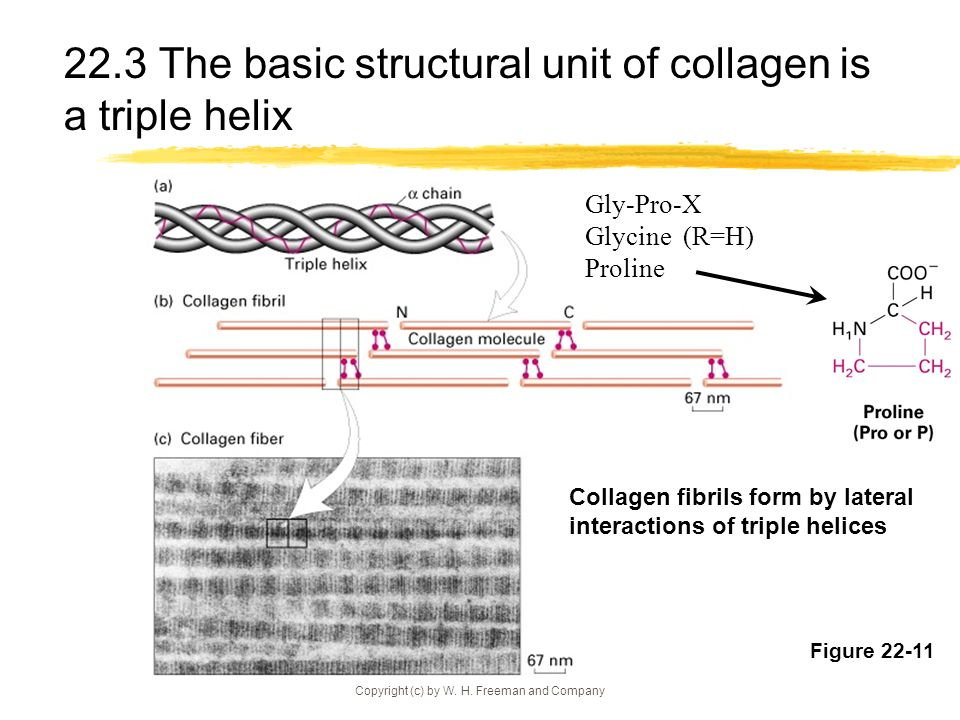 22.3 The basic structural unit of collagen is a triple helix
