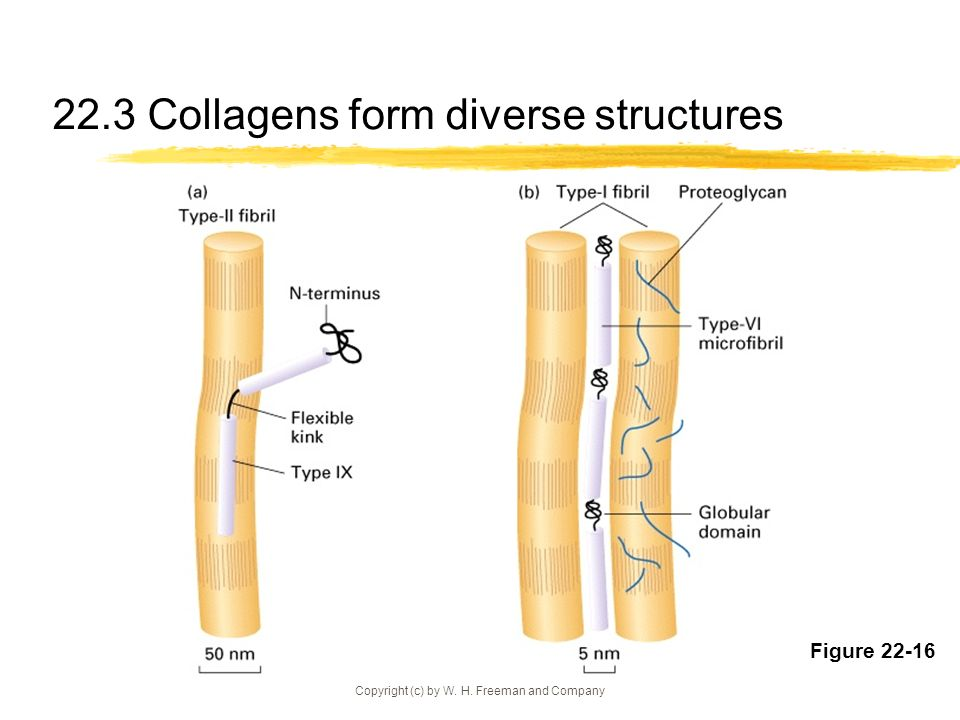 22.3 Collagens form diverse structures