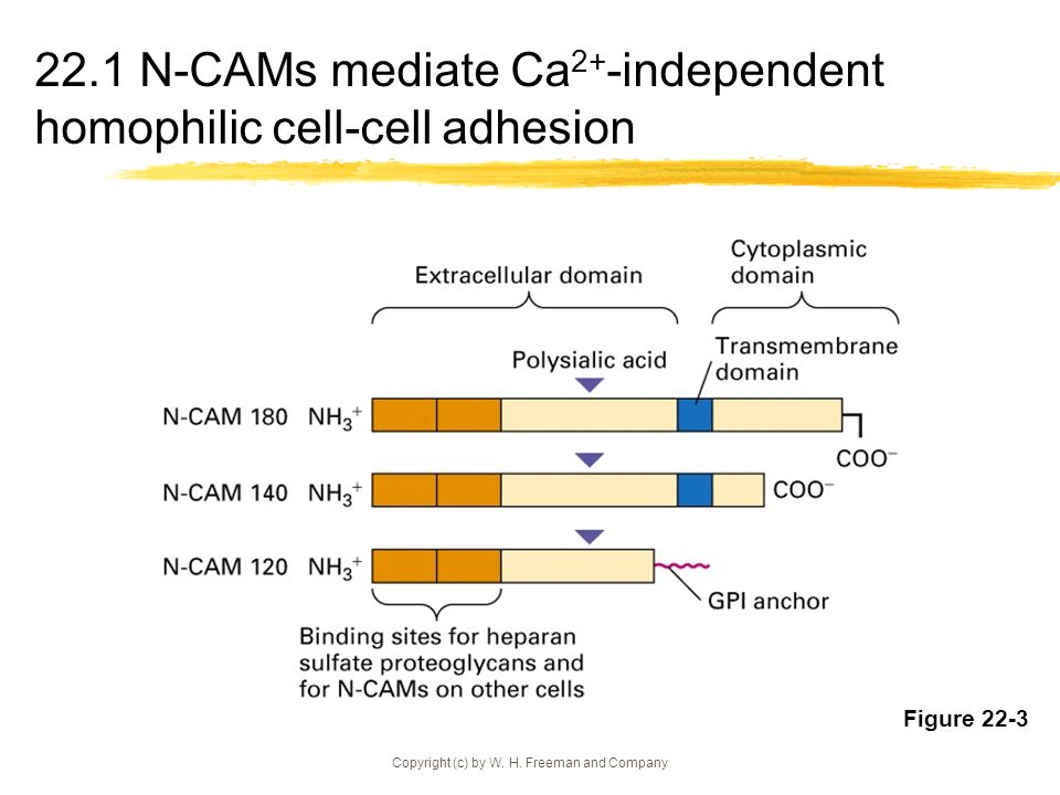 22.1 N-CAMs mediate Ca2+-independent homophilic cell-cell adhesion