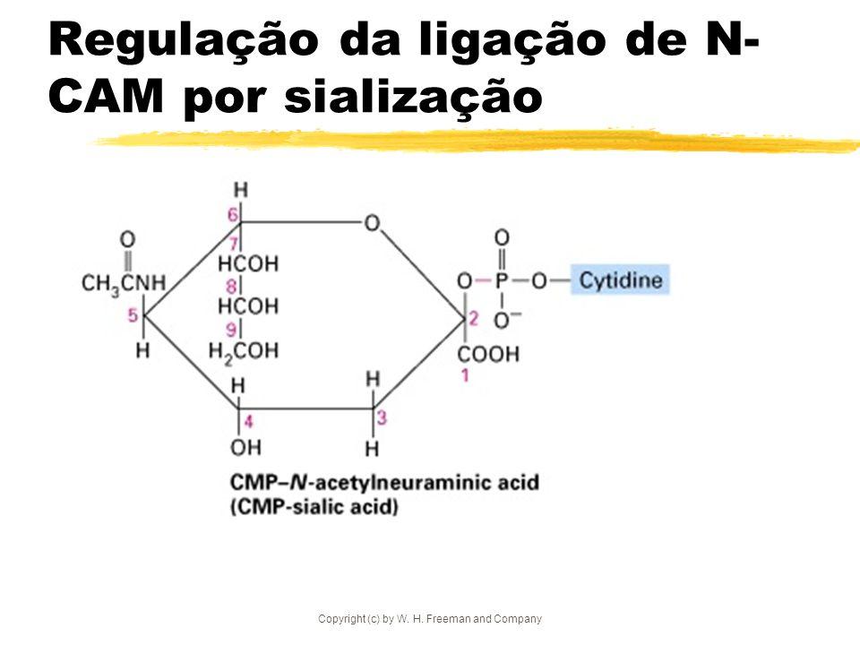 Regulação da ligação de N-CAM por sialização
