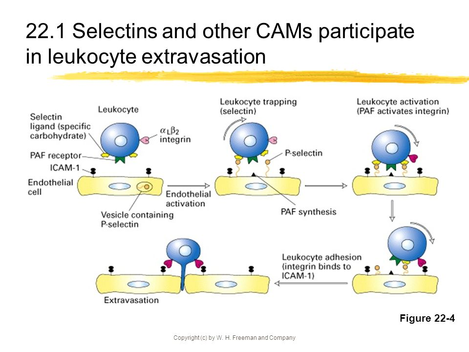 22.1 Selectins and other CAMs participate in leukocyte extravasation
