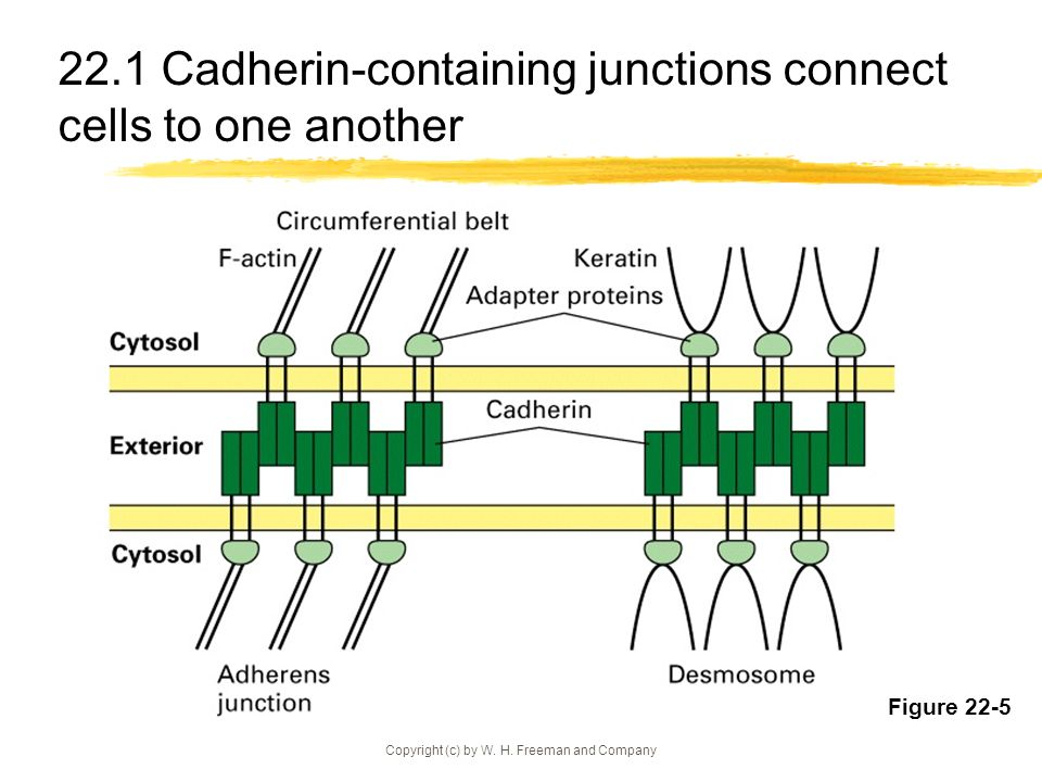 22.1 Cadherin-containing junctions connect cells to one another