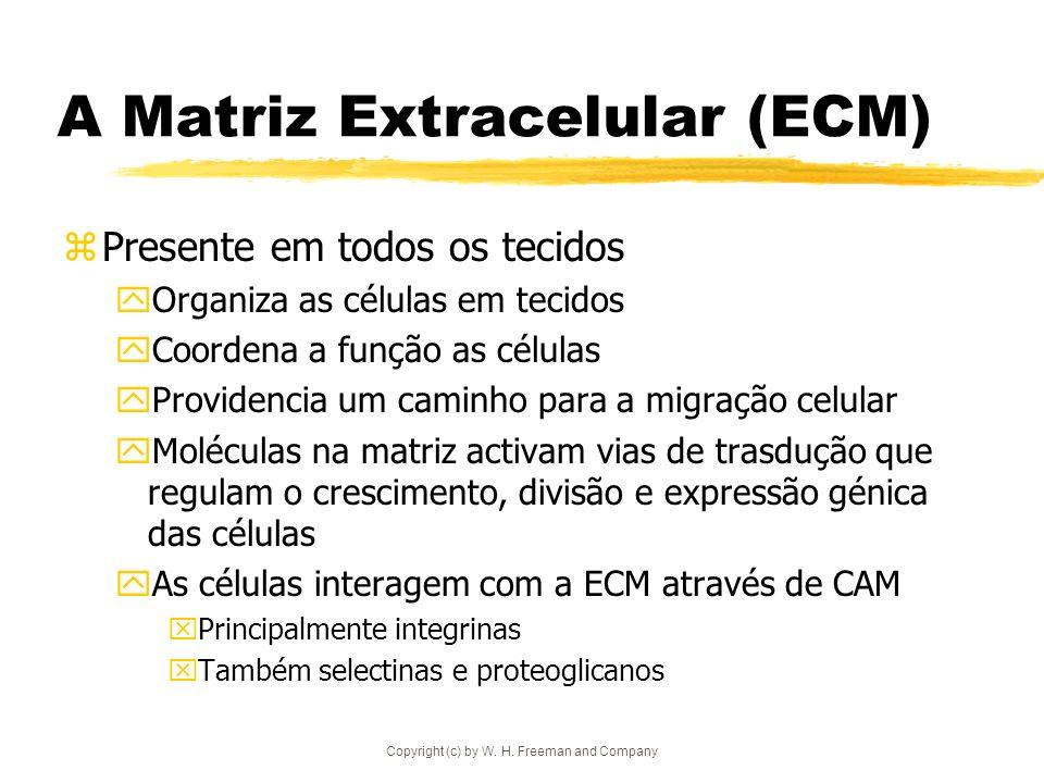 A Matriz Extracelular (ECM)