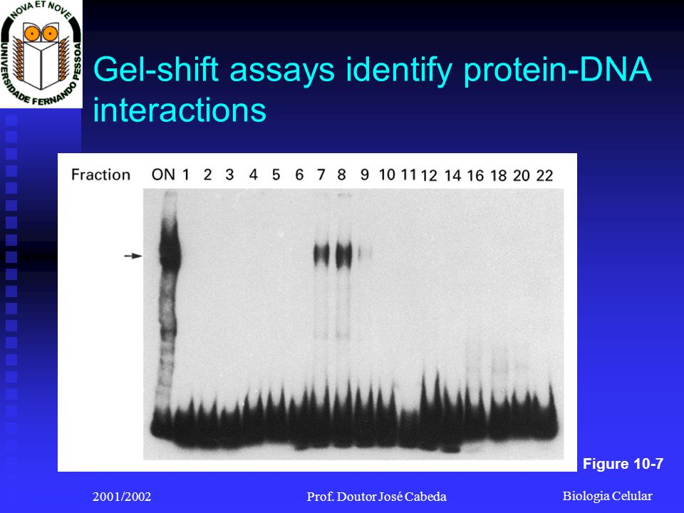 Gel-shift assays identify protein-DNA interactions