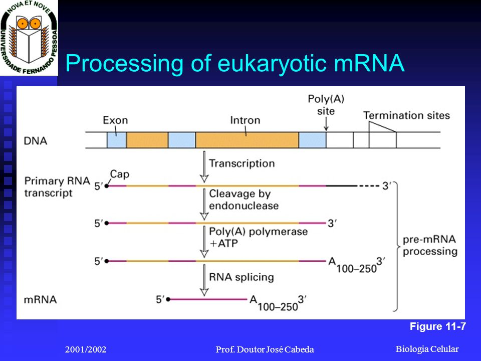 Processing of eukaryotic mRNA