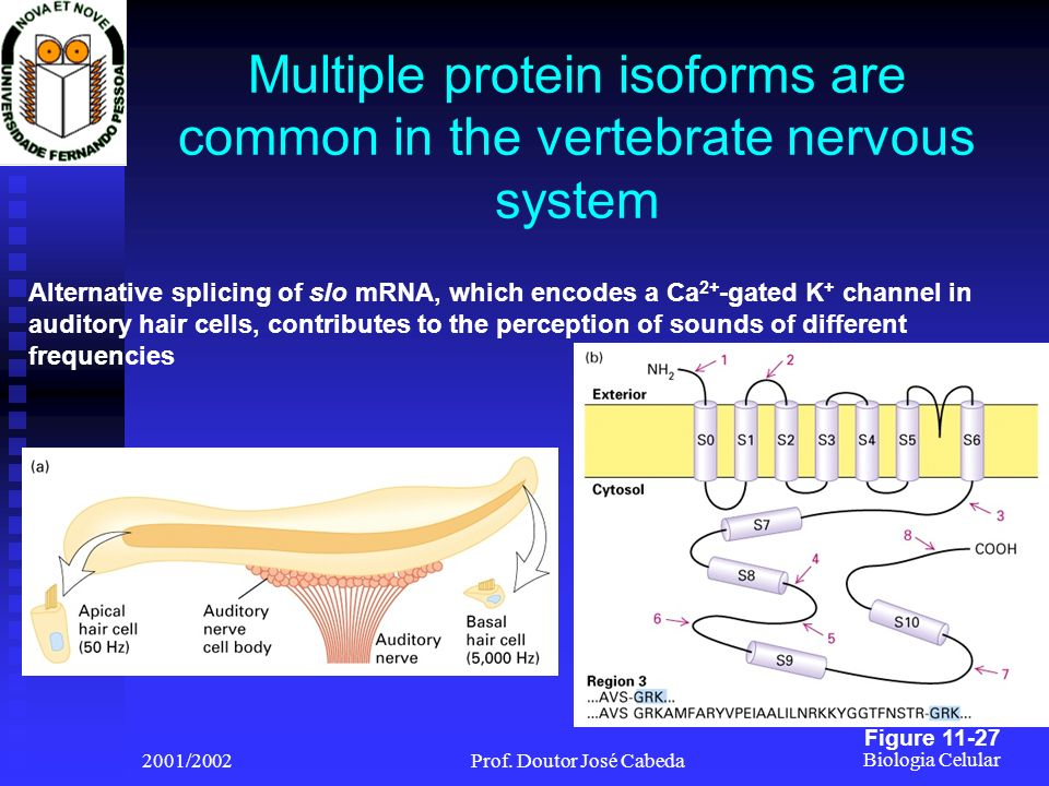 Multiple protein isoforms are common in the vertebrate nervous system
