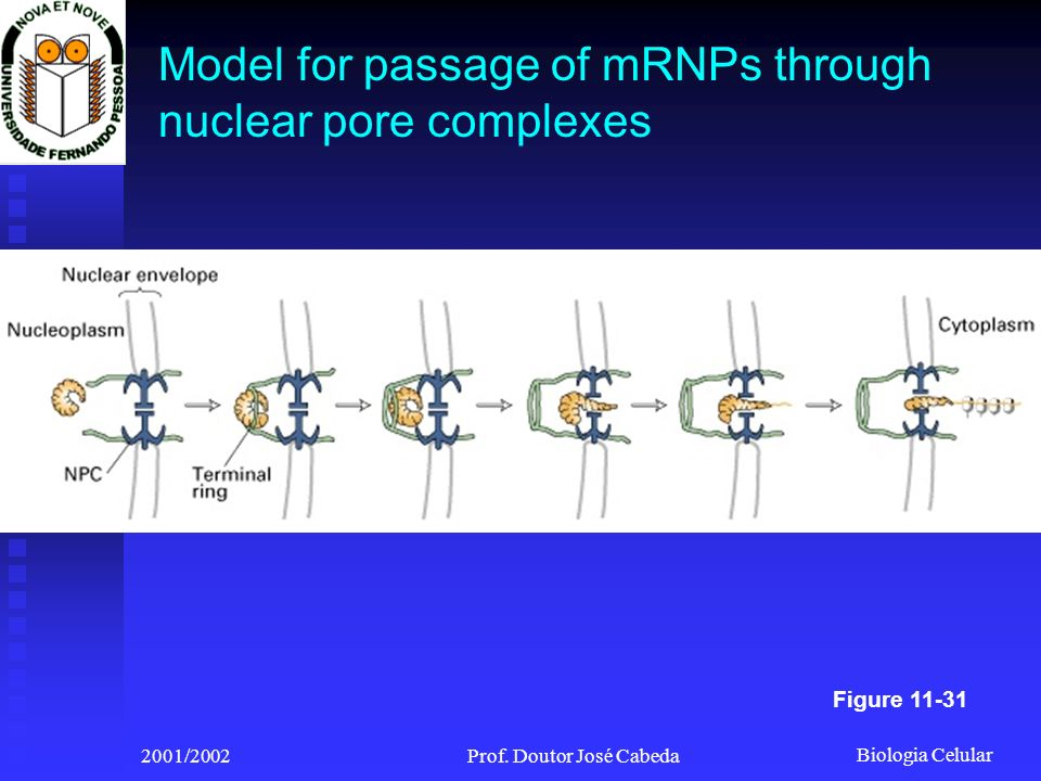 Model for passage of mRNPs through nuclear pore complexes