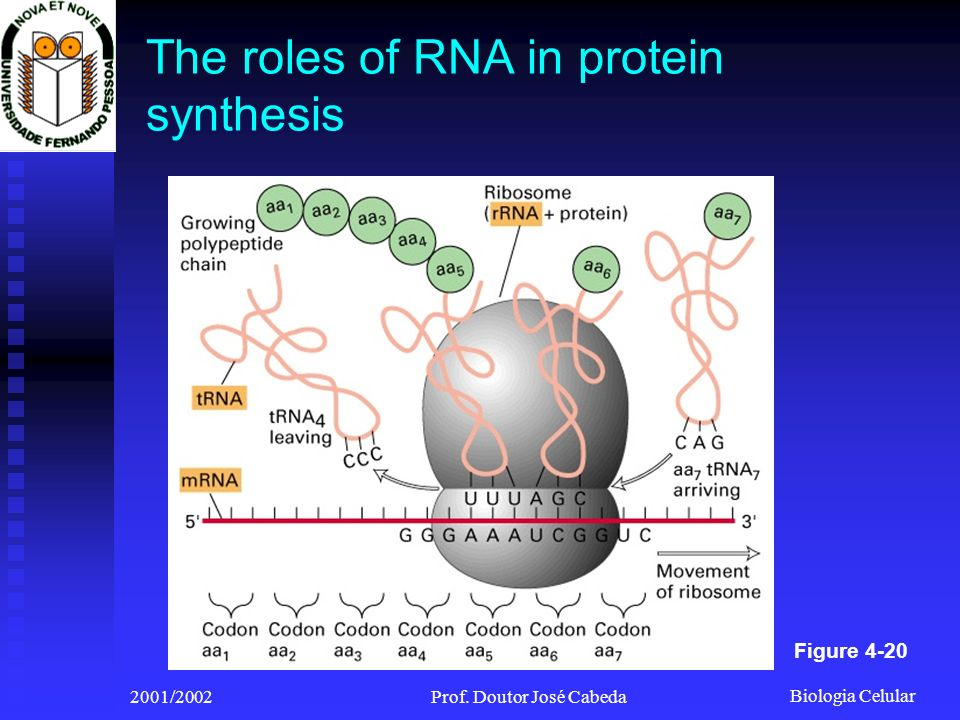 The roles of RNA in protein synthesis