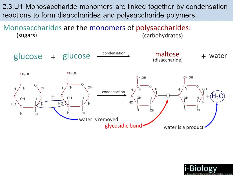 2.3.U1 Monosaccharide monomers are linked together by condensation reactions to form disaccharides and polysaccharide polymers.