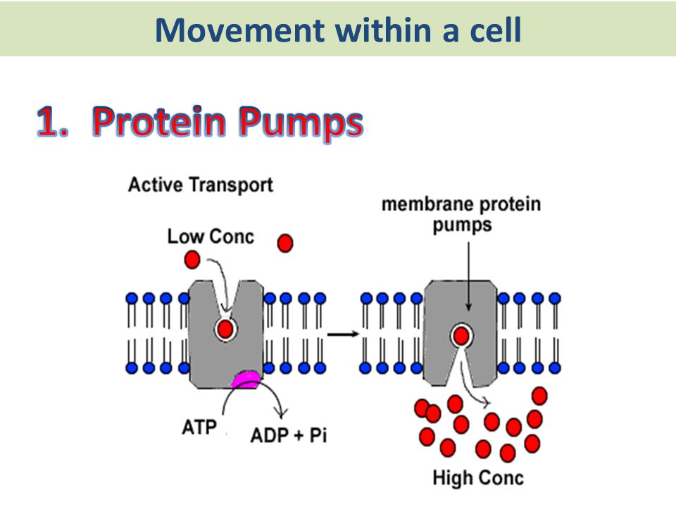 Movement within a cell 1. Protein Pumps