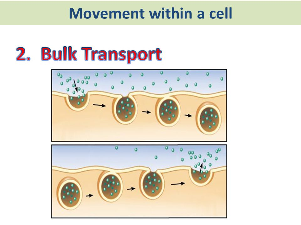 Movement within a cell 2. Bulk Transport