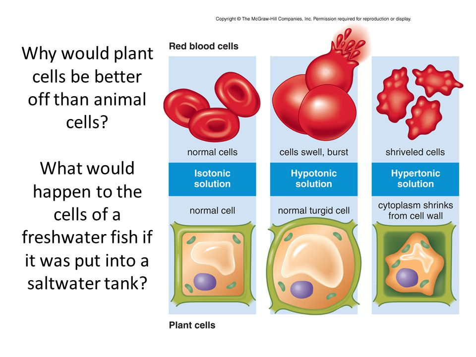 Why would plant cells be better off than animal cells