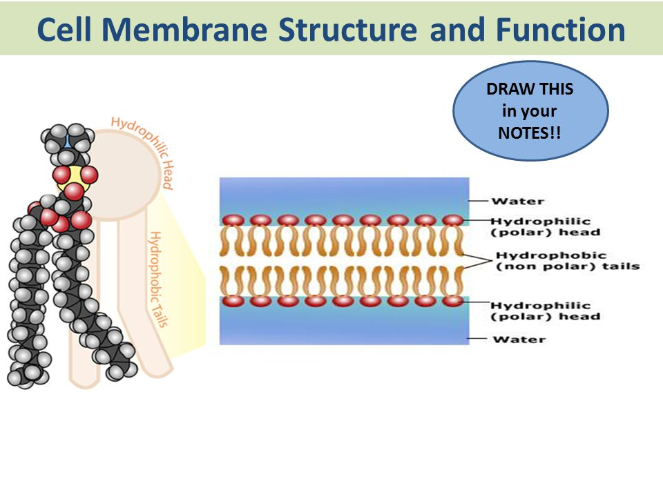 membrane structure and function The fluid mosaic model of the plasma membrane protein, lipid, and carbohydrate components of the membrane.