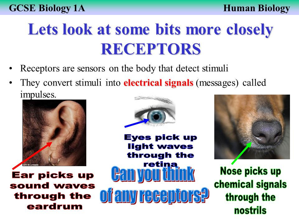 Lets look at some bits more closely RECEPTORS