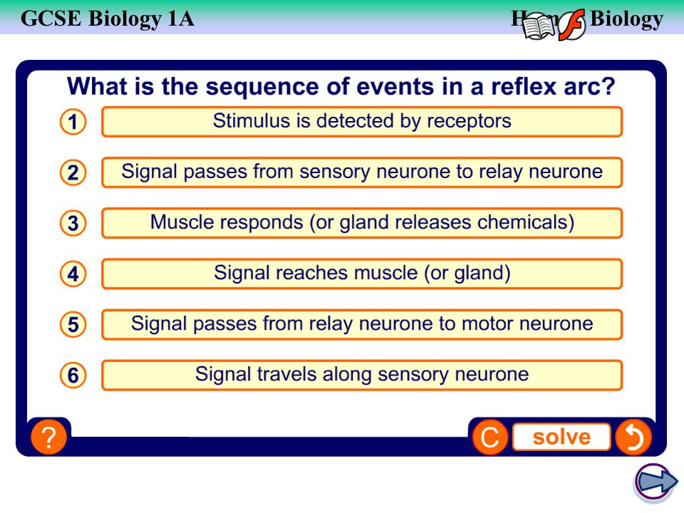 The sequence of a reflex arc