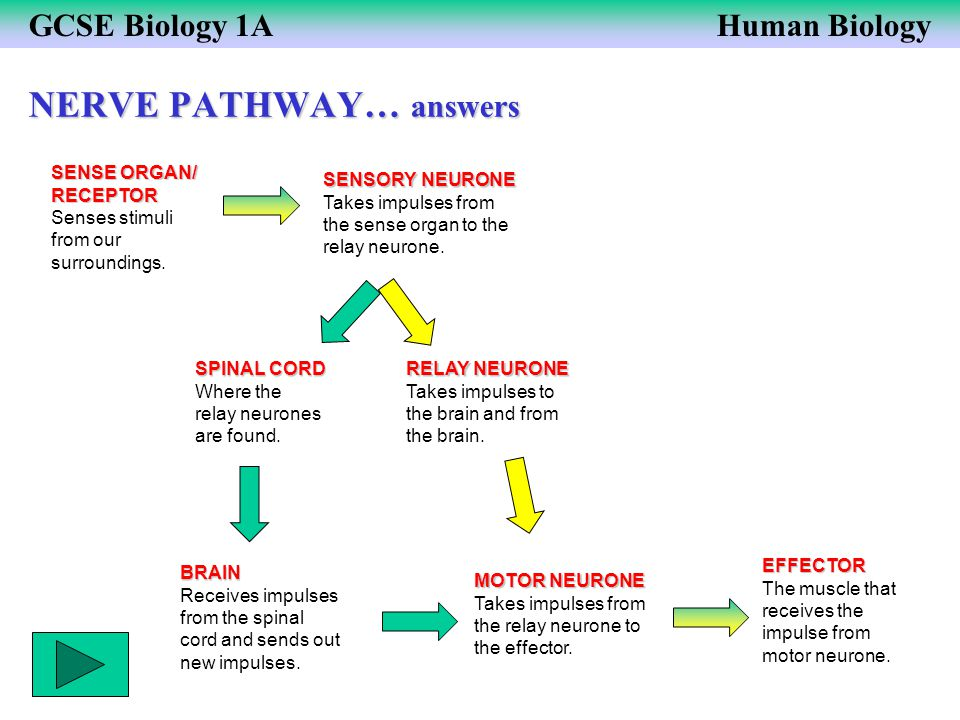 NERVE PATHWAY… answers