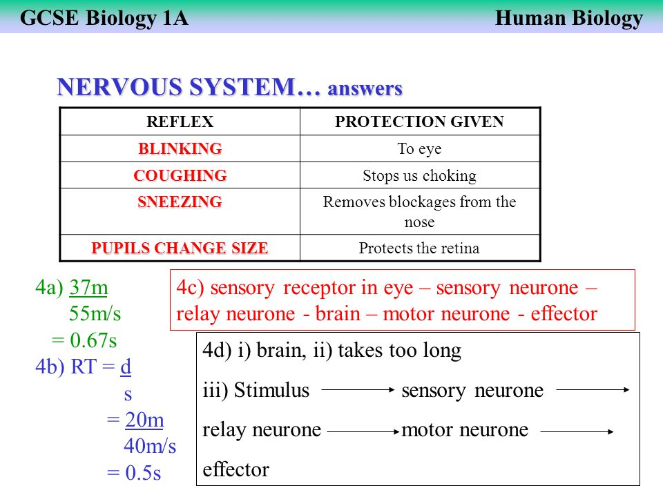 NERVOUS SYSTEM… answers