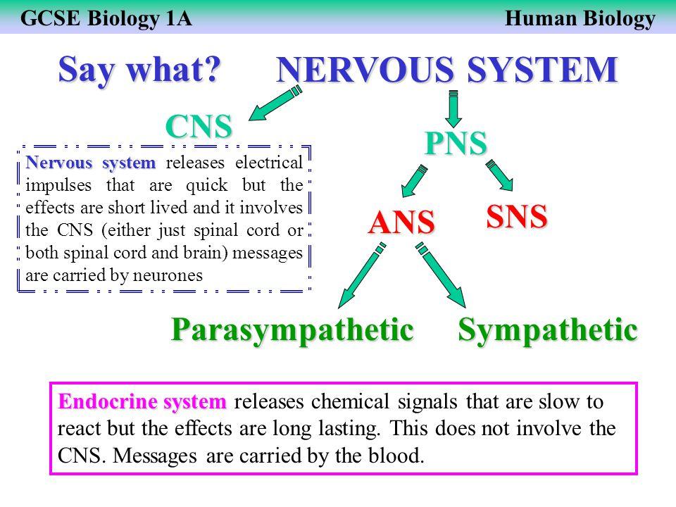 Say what NERVOUS SYSTEM CNS PNS SNS ANS Parasympathetic Sympathetic