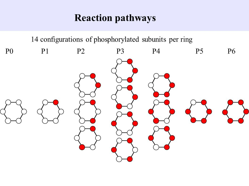 Reaction pathways 14 configurations of phosphorylated subunits per ring.
