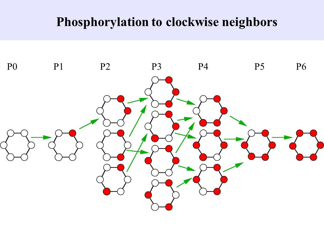 Phosphorylation to clockwise neighbors