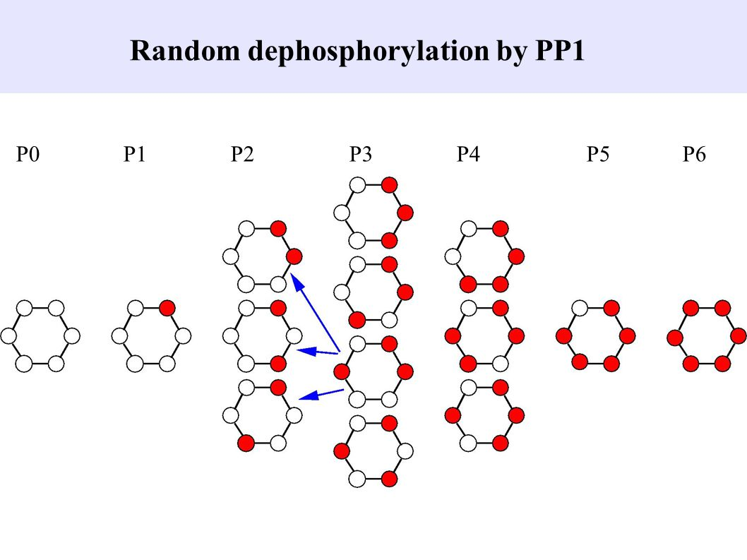 Random dephosphorylation by PP1