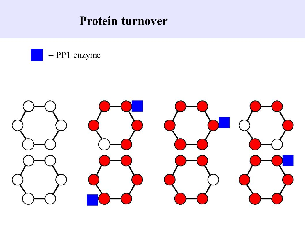 Protein turnover = PP1 enzyme